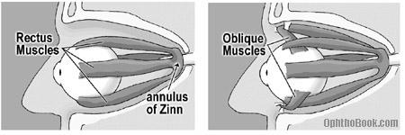 an-eyemuscles.jpg