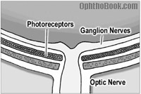 an-photoreceptorganglion.jpg
