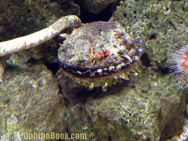 Scallop in Aquarium