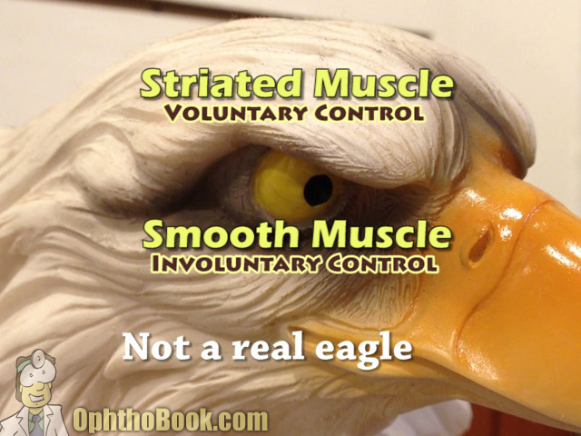 Eagle Striated Muscle