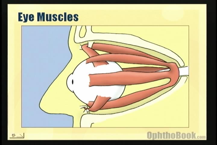 video-eyemuscles.jpg
